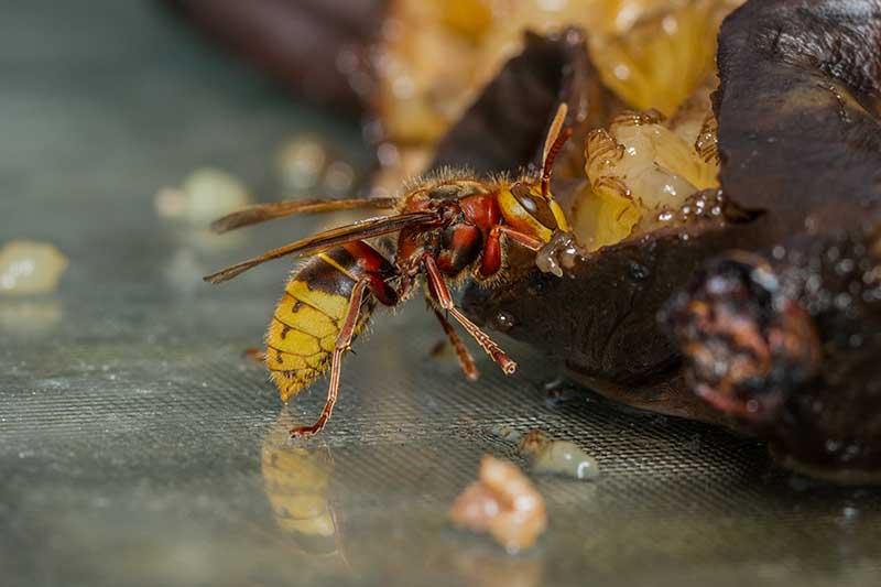 A close up horizontal image of a European hornet feeding on kitchen scraps.