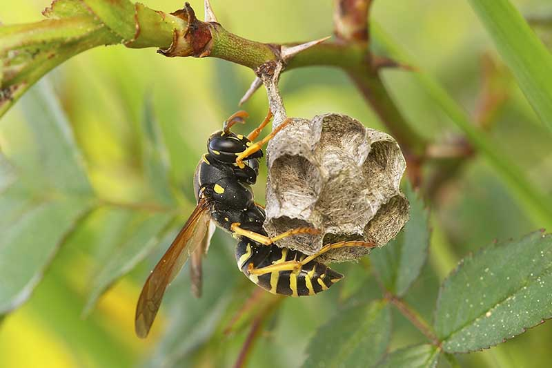 A close up horizontal image of a paper wasp on its nest that is hanging from a branch pictured on a soft focus background.
