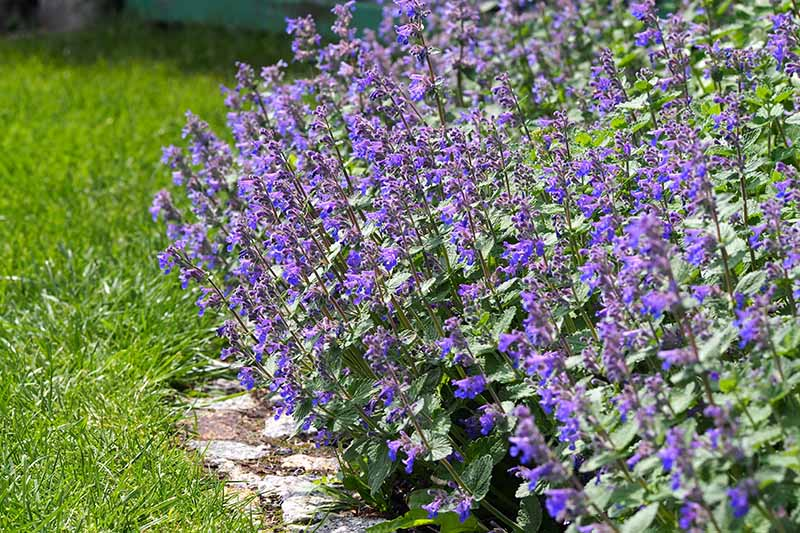 A close up horizontal image of Faasen's catmint growing in a border pictured in bright sunshine.