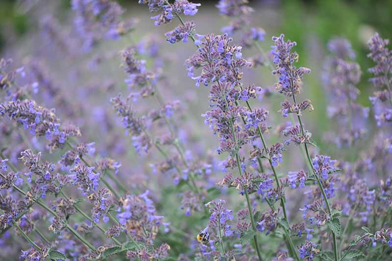 A close up horizontal image of Nepeta faassenii growing in the garden fading to soft focus in the background.