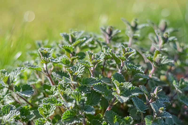 A close up horizontal image of Nepeta faassenii 'Walker's Low' growing in the garden pictured on a soft focus background.