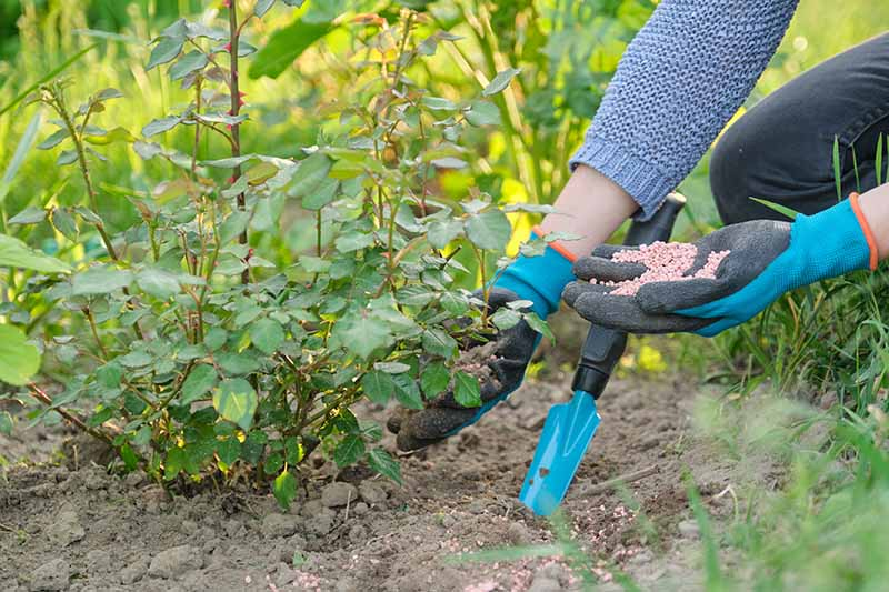 A close up horizontal image of a gardener wearing blue and black gloves applying granular fertilizer to a small rose bush.