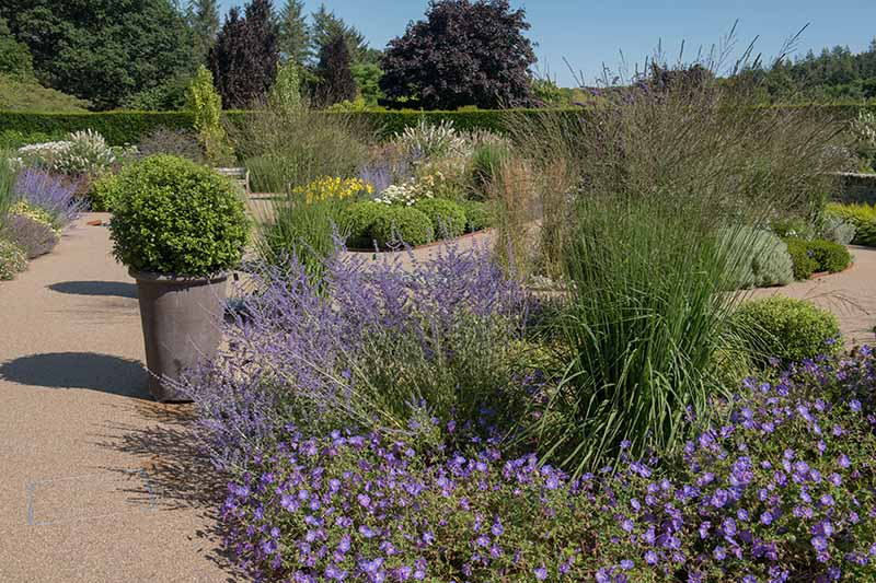 A horizontal image of a formal waterwise garden planted with Russian sage, ornamental grass, and other perennials.
