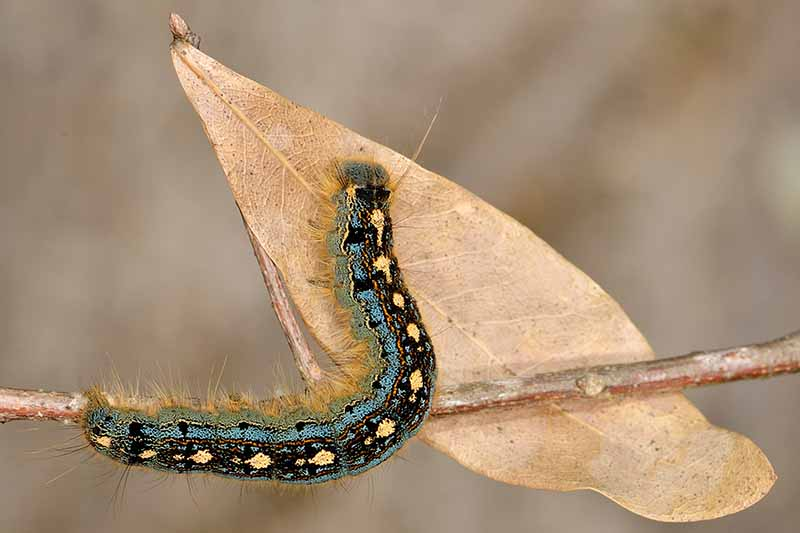 A close up horizontal image of a forest tent caterpillar on a dead leaf pictured on a soft focus background.