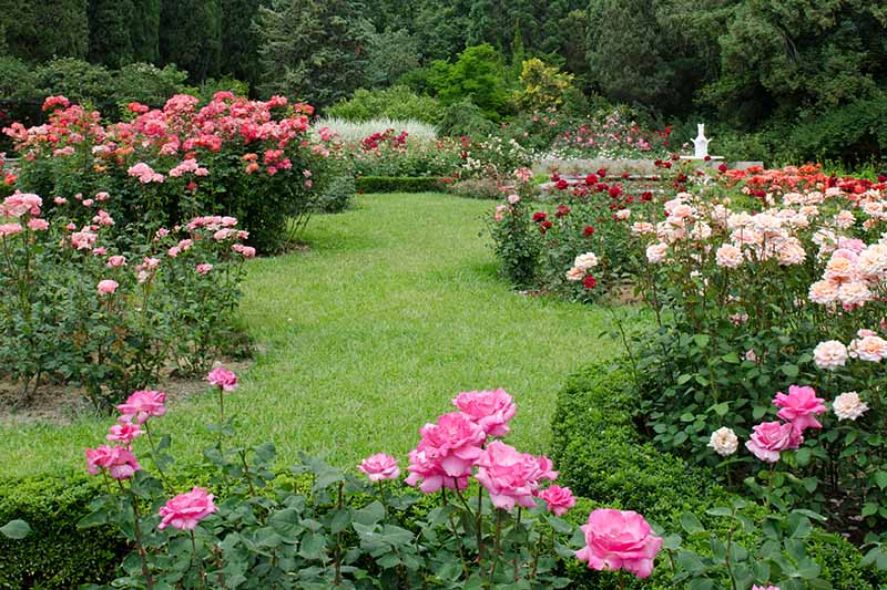 A horizontal image of a lawn surrounded by formal garden beds planted with a variety of different roses, with trees in the background.