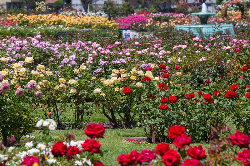 A horizontal image of a formal rose garden with a water fountain in the background.