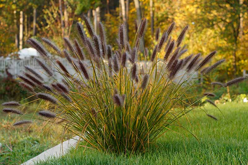 A close up horizontal image of a clump of fountain grass with light purple flowers growing in a lawn with trees in soft focus in the background.
