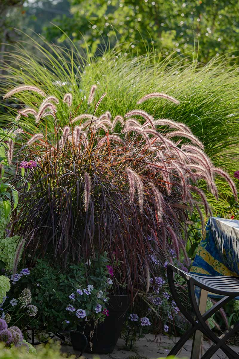 A close up vertical image of ornamental grasses growing among flowers in a patio garden.