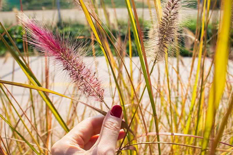 A close up horizontal image of a hand from the bottom of the frame holding the wispy flower stalk of Pennisetum fountain grass.