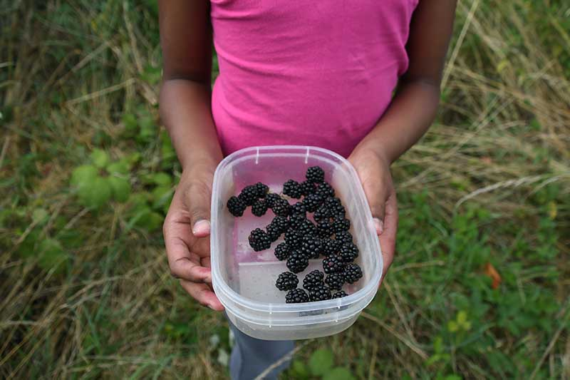 A close up horizontal image of a child holding a plastic container of freshly harvested blackberries.