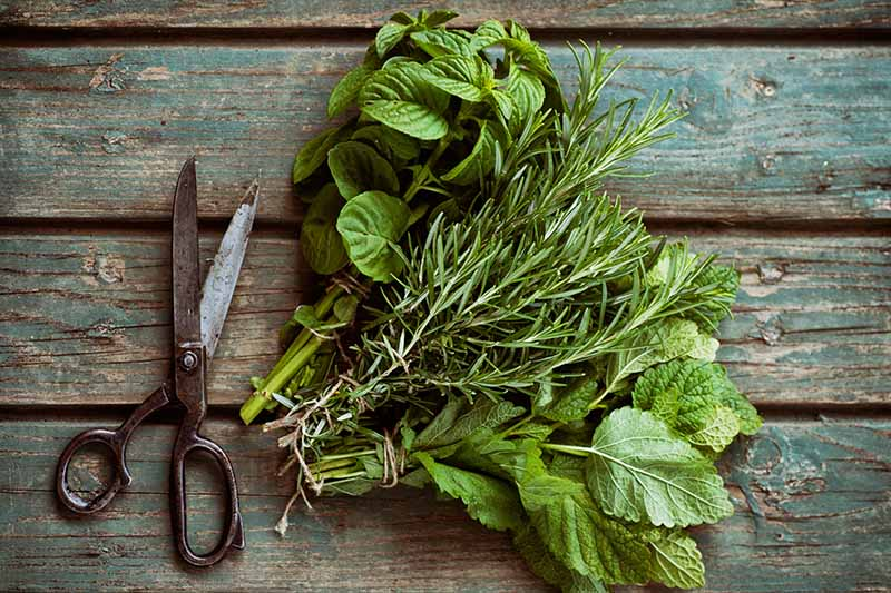 A close up horizontal image of bunches of freshly harvested herbs set on a wooden surface with a pair of scissors beside them.