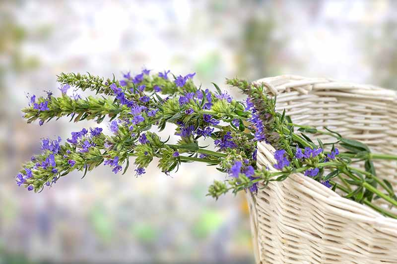 A close up horizontal image of freshly harvested hyssop flower stems in a wicker basket pictured on a soft focus background.