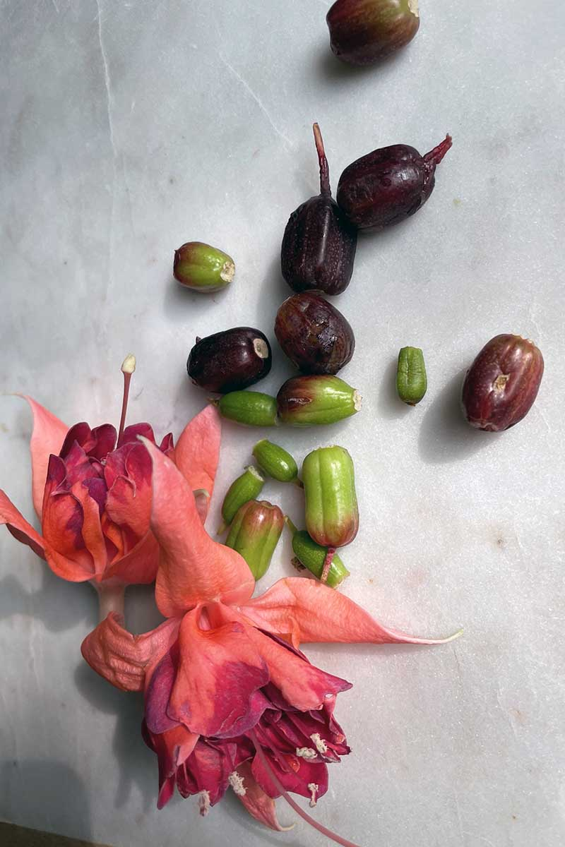 A close up vertical image of freshly harvested fuchsia flowers and berries set on a marble surface.