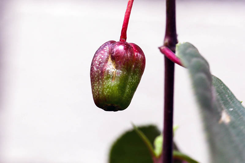 A close up horizontal image of a fuchsia berry pictured on a white background.