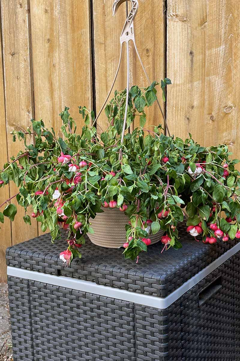 A close up vertical image of a fuchsia plant in a hanging basket that has started to wilt from lack of water.