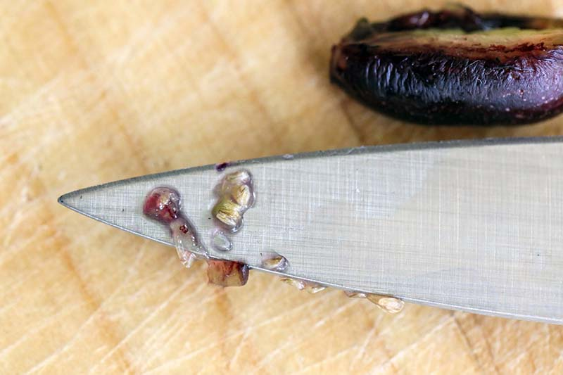 A close up horizontal image of freshly extracted seeds on the tip of a metal knife.