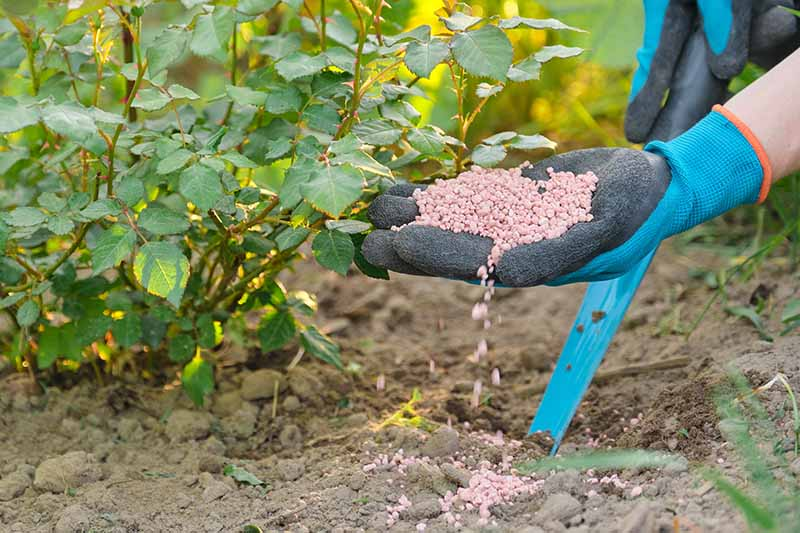 A close up horizontal image of a gardener applying fertilizer to plants in the garden.