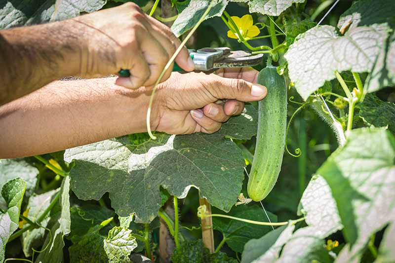 A close up horizontal image of two hands from the left of the frame harvesting ripe cucumbers in sunshine.