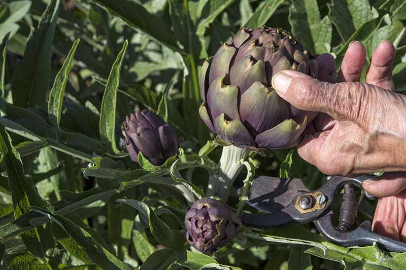 A close up horizontal image of a gardener on the right of the frame using pruners to harvest globe artichokes.