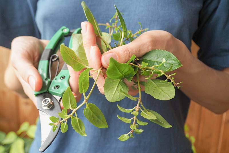 A close up horizontal image of a gardener holding a pair of pruners in one hand and freshly cut stems in the other hand.