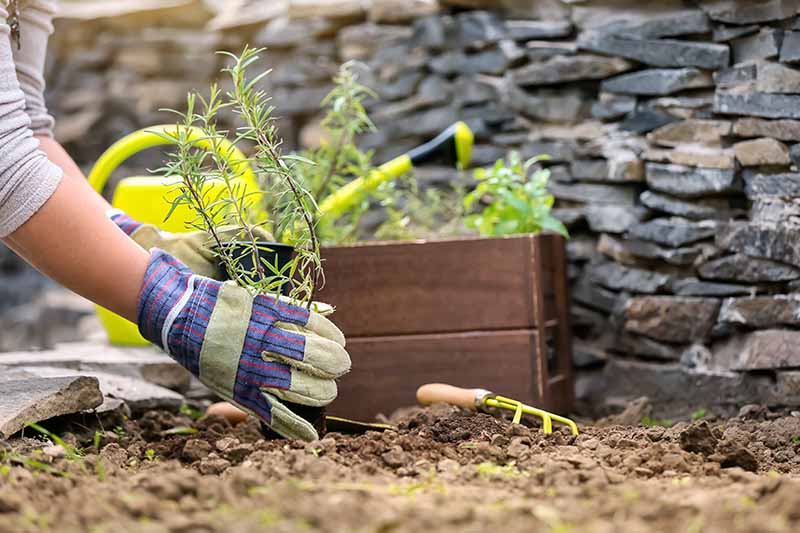 A close up horizontal image of a gardener setting out a small seedling into the garden with a stone wall in the background.