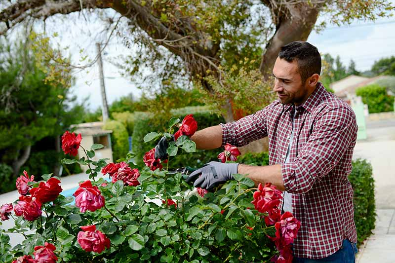 A close up horizontal image of a gardener pruning roses growing in a formal garden.