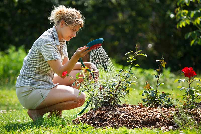 A close up horizontal image of a gardener using a mist setting on a garden hose to water rose shrubs growing in a border.