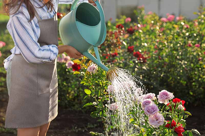 A close up horizontal image of a gardener using a watering can to irrigate a rose bush pictured in light evening sunshine.