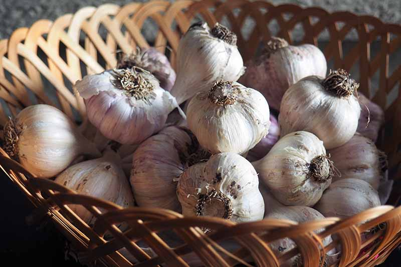 A close up horizontal image of cured and dried garlic bulbs set in a wicker basket.