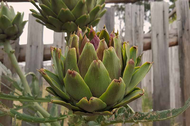 A close up horizontal image of a globe artichoke growing in the garden with a wooden fence in the background.