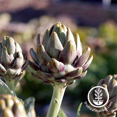 A close up square image of 'Green Globe' artichokes growing in the garden. To the bottom right of the frame is a white circular logo with text.