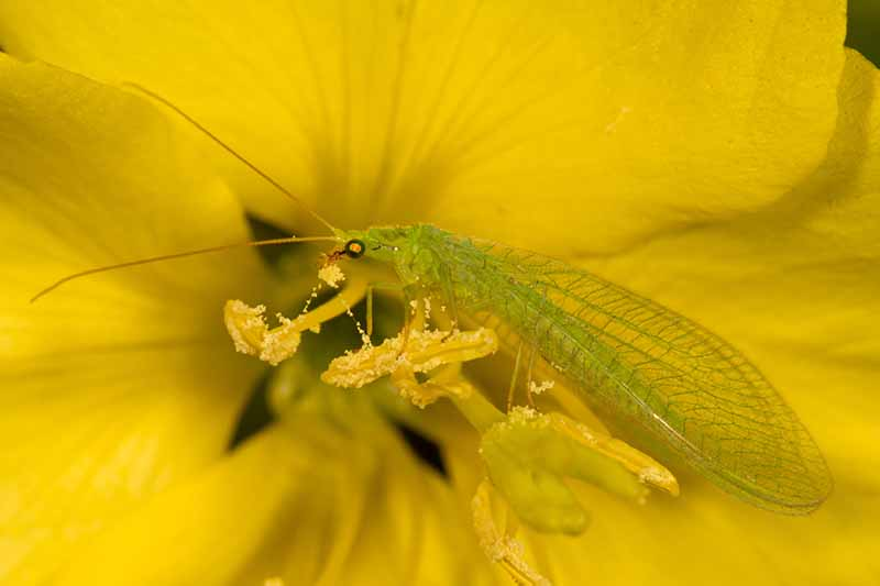 A close up horizontal image of a green lacewing on a yellow flower.