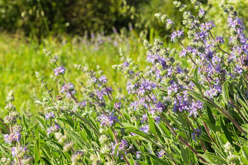 A close up horizontal image of Salvia clevelandii growing in a meadow pictured in bright sunshine.