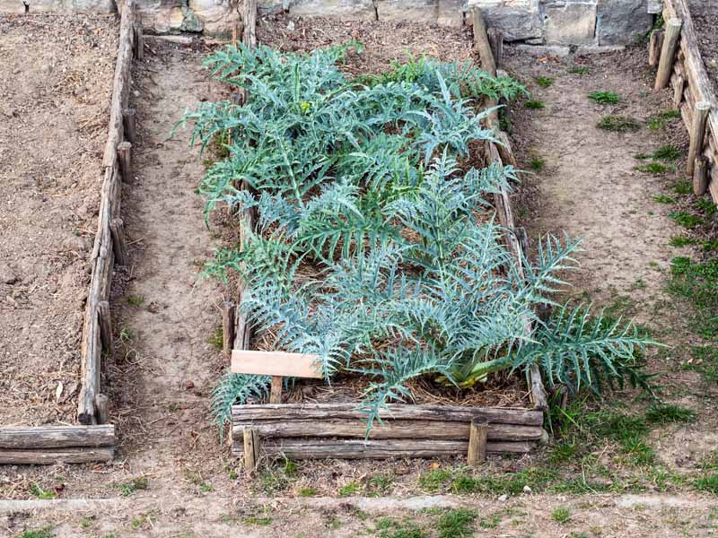 A horizontal image of raised garden beds planted with globe artichokes.
