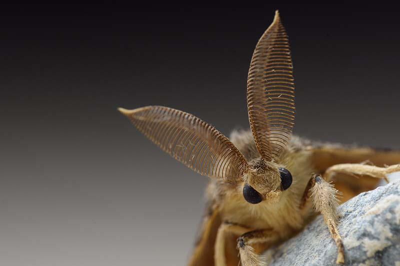 """A close up horizontal image of a gypsy moth - the insect, not the plane - that looks like some kind of cute rabbit, with long """"ears"""" and big black eyes pictured on a soft focus background."""