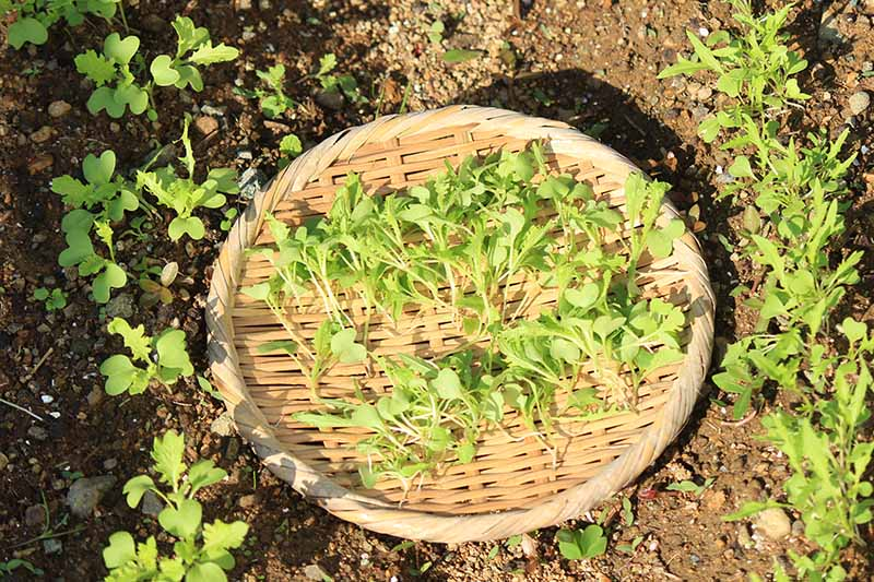 A close up horizontal image of a wicker basket set on the ground in the garden with freshly harvested microgreens, pictured in bright sunshine.
