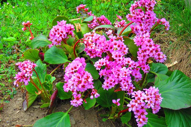 A close up horizontal image of bright pink bergenia flowers growing in the garden with lawn in the background.
