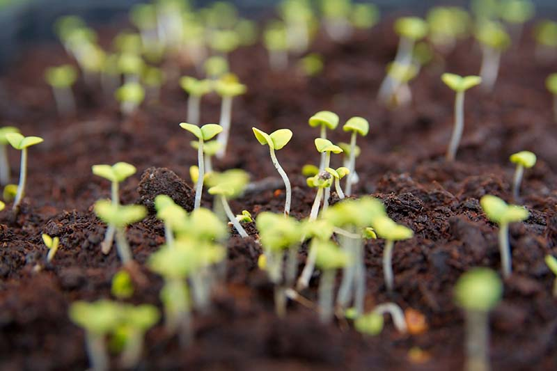 A close up horizontal image of seedlings sprouting through rich soil.