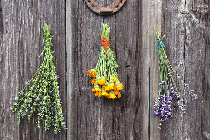 A close up horizontal image of herbs hanging on a wooden wall to dry.