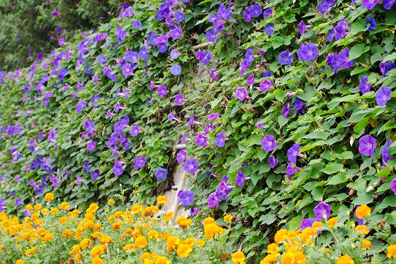 A horizontal image of a large morning glory vine growing on a tall fence with marigolds growing at the bottom.