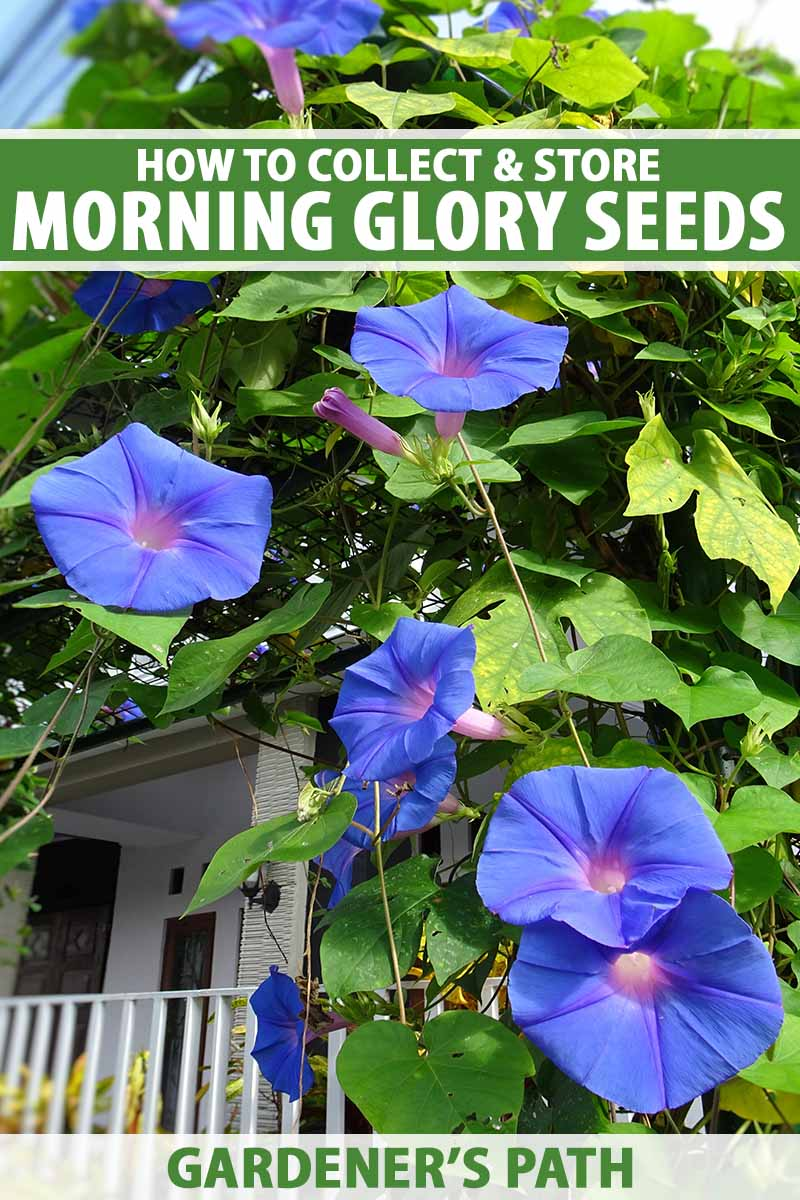 A close up vertical image of blue morning glory flowers growing up the side of a residence. To the top and bottom of the frame is green and white printed text.