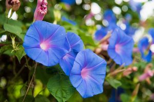 How to Collect and Store Morning Glory Seeds