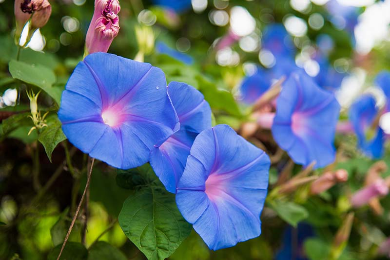 A close up horizontal image of bright blue morning glory flowers growing in the garden pictured on a soft focus background.
