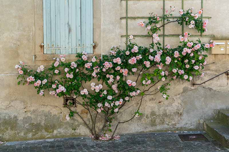A horizontal image of a climbing rose on a stone wall in the south of France.