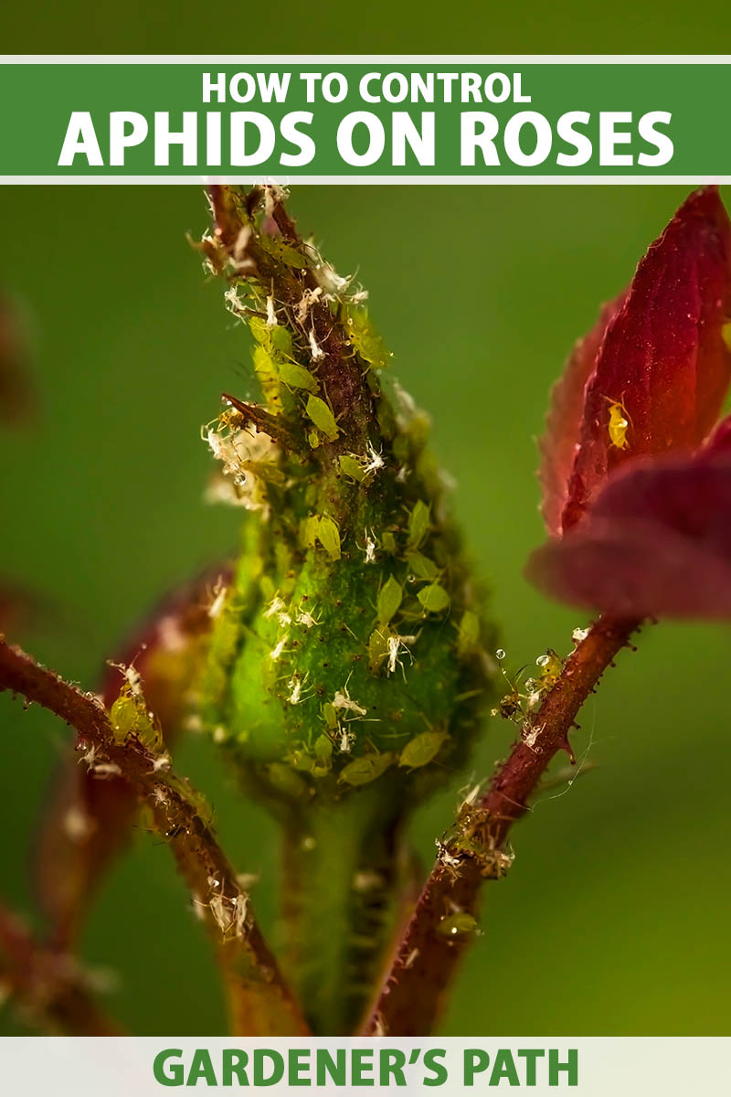 A close up vertical image of a rose bud infested with aphids pictured on a soft focus background. To the top and bottom of the frame is green and white printed text.