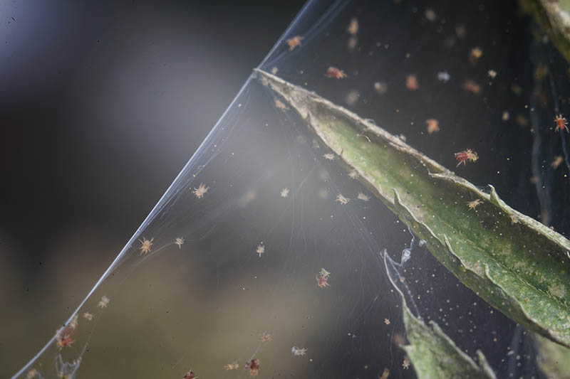 A close up horizontal image of a spider mite colony and its web on the stem of a plant pictured on a soft focus background.