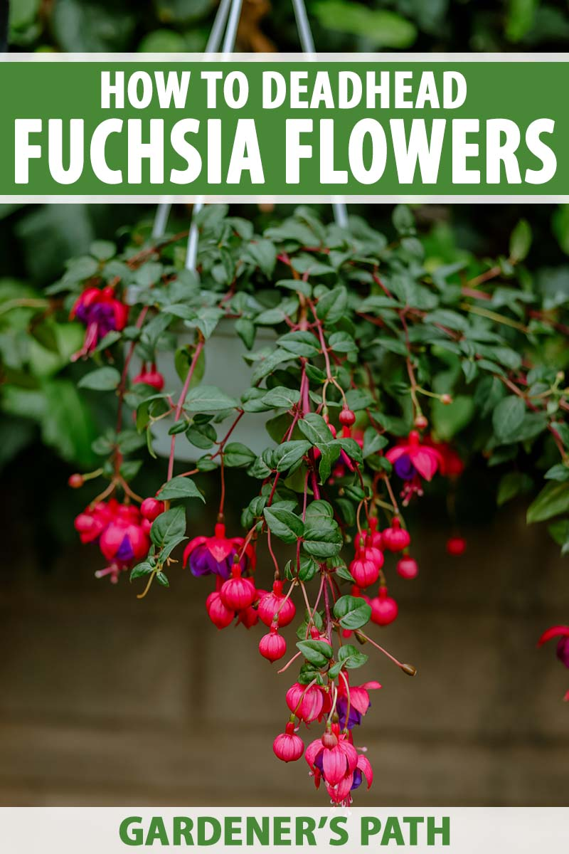 A close up vertical image of a hanging basket with red and purple fuchsia flowers spilling over the side. To the top and bottom of the frame is green and white printed text.