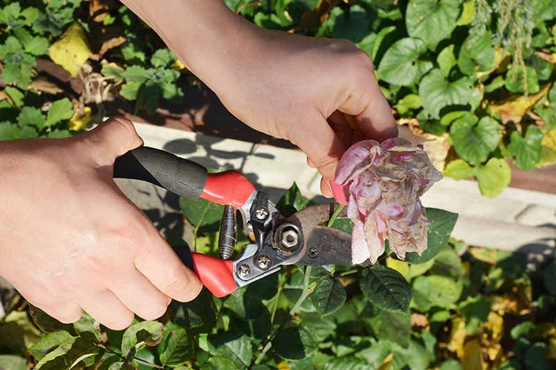 A close up horizontal image of two hands from the left of the frame holding a pair of pruners deadheading a rose flower pictured in bright sunshine.