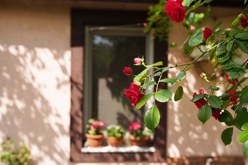 A close up horizontal image of red roses growing outside a residence pictured in filtered sunshine.