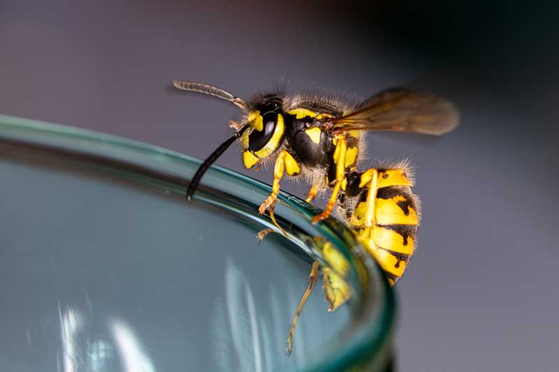A close up horizontal image of a wasp on the side of a glass pictured on a soft focus background.